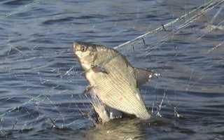 К чему снится рыба в сетях
