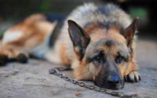 К чему снится собака на цепи